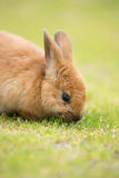 Wild Bunny Feeds on Local Grasses Cute Rabbit Stock Images