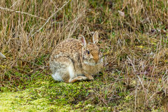 Wild bunny in nature. Wild bunny outside in nature environment on the fiels Royalty Free Stock Photography
