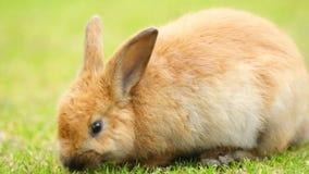 Wild Bunny Rabbit Grazing Grass Valdez Alaska Animal Wildlife stock video