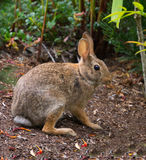 Wild bunny rabbit hiding in plain sight. Garden attracts many visitors, including this wild rabbit. The bunny held perfectly still as if to hide in plain sight stock image