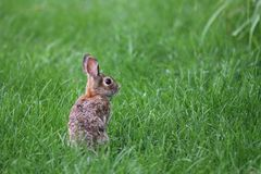 Wild Bunny Royalty Free Stock Photo