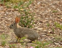 Wild bunny rabbit Royalty Free Stock Photos