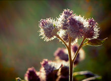 Wild bur flower at sunset. Royalty Free Stock Images