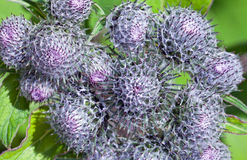 Wild burdock Royalty Free Stock Images