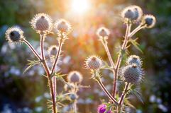 Wild burdock close-up photo Stock Images