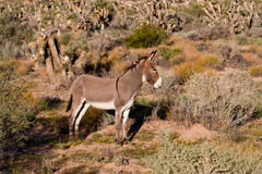 Wild Burro. (equus asinus asinus) at Red Rock Canyon, Nevada Royalty Free Stock Image