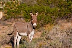 Wild Burro. (equus asinus asinus) at Red Rock Canyon, Nevada Royalty Free Stock Images