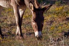 Wild Burro Stock Images