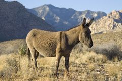 Free Wild Burro Royalty Free Stock Photography - 2863777
