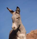 Wild Burro. Close up of a wild burro roaming the California desert Stock Photo