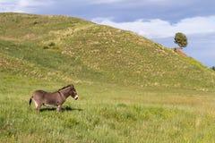 Wild Burro Fotografering för Bildbyråer