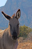 Wild Burro. In Red Rock Canyon, Las Vegas Nevada royalty free stock photos