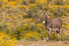 Wild Burro in the Arizona Desert in Spring. A cute wild burro in the Arizona desert in spring Royalty Free Stock Photos