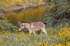Wild Burro in Spring. A wild burro in the Arizona desert in spring Stock Photo