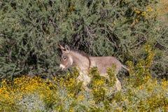 Wild Burro in Spring in the Desert. A wild burro in the Arizona desert in spring Royalty Free Stock Photo
