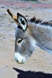 Wild Burro Earp, California, United States. Wild burro on the California side of Parker Dam, located in Earp California in the United States Royalty Free Stock Image