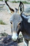 Wild Burro Earp, California, United States. Wild burro on the California side of Parker Dam, located in Earp California in the United States Royalty Free Stock Photo