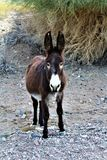 Wild Burro Earp, California, United States. Wild burro on the California side of Parker Dam, located in Earp California in the United States Stock Photos