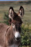 Wild Burro Colt. In Custer State Park in Greeting Card Pose Stock Image