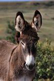 Wild Burro Colt Stock Image