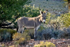 Wild Burro in the Desert Stock Photography