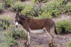 Wild Burro in the Desert. A cute wild burro in the Arizona desert in spring Stock Photography