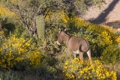 Wild Burro in the Desert in Spring. A cute wild burro in the arizona desert in spring Stock Photography