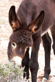 Wild Burro Donkey Foal Grazing Stock Photo