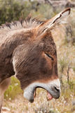 Wild Burro Donkey in Nevada Desert Stock Images