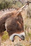 Wild Burro Donkey in Nevada Desert. Yawning Wild Burro Donkey in Nevada Desert Stock Images