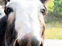 Wild burro face closeup. Wild burro coming close to beg for treat in Custer State Park, South Dakota Stock Image