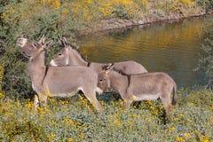 Wild Burro Family. Wild burros in the Arizona desert in spring Stock Photo