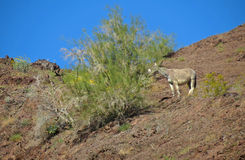 Wild Burro Feeding. A wild burro on the hillside above the Colorado River feeding on the leafs of a small tree - just upriver from Parker, Arizona Stock Photography