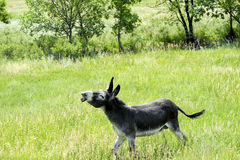 Wild Burro With a Funny Expression. A wild burro making a funny expression Royalty Free Stock Photography