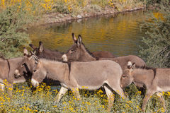 Wild Burro Herd in Arizona. Wild burros in the Arizona desert in spring Stock Photography