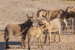 Wild Burro Herd. Wild burros in the Arizona desert in spring Stock Image