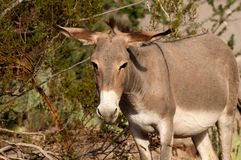 Wild Burro i Oatman, Arizona royaltyfria bilder