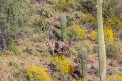Wild Burro Jenny and Foal in the Desert. Wild burro jenny and foal in the Arizona desert in spring Stock Photos