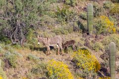 Wild Burro Jenny and Foal in the Desert in Spring. Wild burro jenny and foal in the Arizona desert in spring Royalty Free Stock Photos
