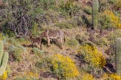 Wild Burro Jenny and Foal. In the Arizona desert in spring Royalty Free Stock Photo