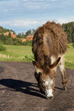 Wild burro. Lone wild burro on the road in Custer state park South Dakota Stock Photography