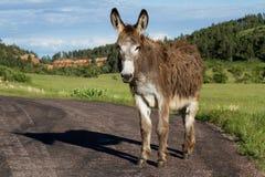 Wild burro. Lone wild burro on the road in Custer state park South Dakota Stock Photos