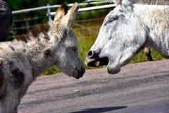 Wild Burro and baby burro stock photos