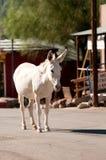 Wild Burro in Oatman, Arizona. Wild Burro walking down the street in Oatman, Arizona Stock Photos