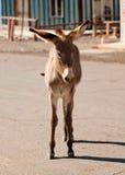 Wild Burro in Oatman, Arizona. Young wild Burro walking down the street in Oatman, Arizona Royalty Free Stock Photo