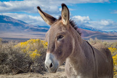 Wild burro in Owens Valley, California Stock Photography