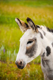 Wild Burro Stock Photos