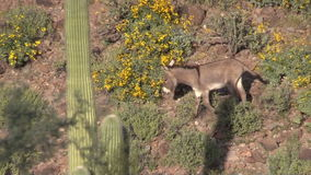 Wild Burro in Spring in Arizona stock video footage