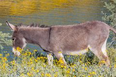 Wild Burro in Spring Arizona. A wild burro in the Arizona desert in spring Royalty Free Stock Image