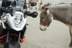 Wild Burros interacting with a motorcycle. Wild Burro studies modern transportation Stock Photography